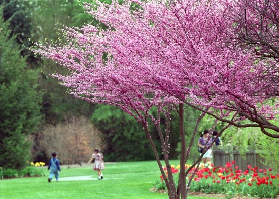 Planting Under Deciduous Trees : Trees deciduous brownswood nursery